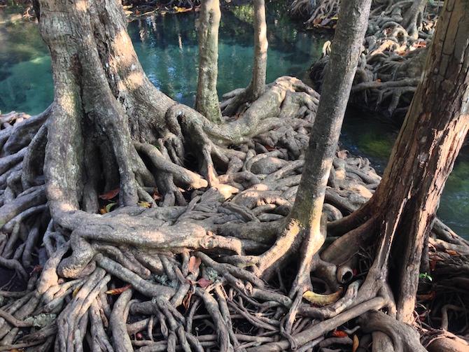 Mangrove de cristal