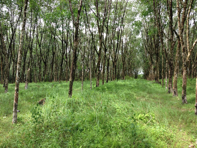 Forêt d'hévéas